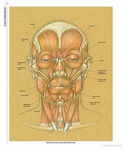 Facial Muscles Classic Human Anatomy  The Artist U0026 39 S Guide