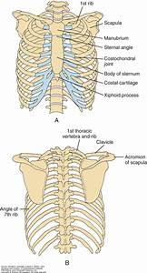 The Thorax And Chest Wall