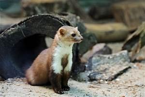 Marder Dachboden Geräusche : wildtiere erobern die stadt ~ Eleganceandgraceweddings.com Haus und Dekorationen