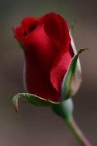 Bouton De Rose : bouton de rose rouge ~ Dode.kayakingforconservation.com Idées de Décoration