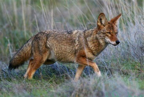 Images Of A Coyote Coyotes