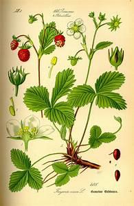 Aufbau Einer Blume : fraisier des bois wikip dia ~ Whattoseeinmadrid.com Haus und Dekorationen