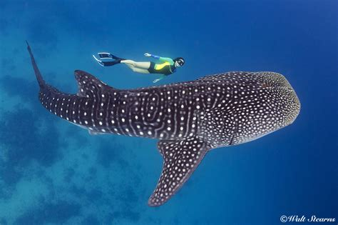 Dive With Whale Sharks The Whale Sharks Of Oslob Underwater Journal