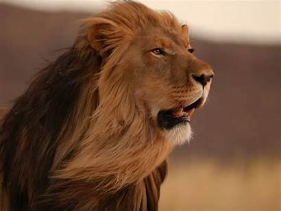 Lion Animals Desktop Wallpapers Backgrounds