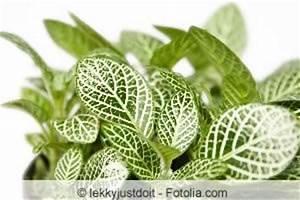 Pflege Von Zimmerpflanzen : mosaikpflanze fittonia albivenis pflege anleitung ~ Markanthonyermac.com Haus und Dekorationen