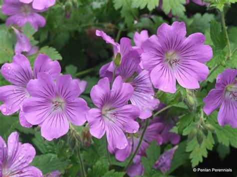 or perennial geranium sirak penlan perennials nursery