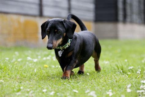 Miniature Dachshund Facts, Info, Temperament, Puppies
