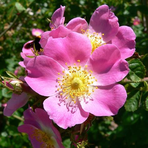 irish wild rose rosa rugosa bare root plants  sale