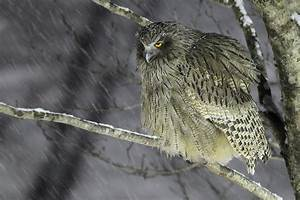 Blakiston's Fish Owl | Wild Birds | Pinterest