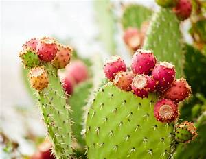 Comment Entretenir Un Cactus : cactus raquette ou opuntia ooreka ~ Nature-et-papiers.com Idées de Décoration
