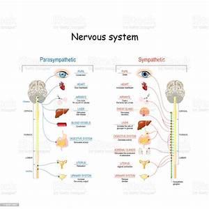 Sympathetic And Parasympathetic Nervous System Stock