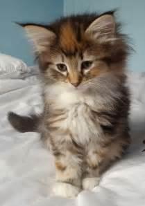 gorgeous forest kittens ulverston cumbria