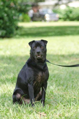 lovely shar pei lab mix
