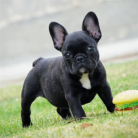 Tudo Sobre A Raca Bulldog Frances Tudo Sobre Cachorros