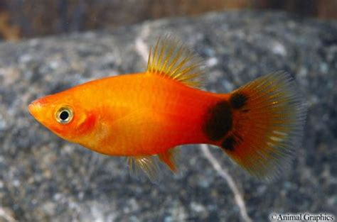 mickey mouse fish mickey mouse sunburst platy actually more this colour the babies will be as dad was a