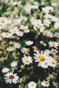 Daisy wallpaper | Wallpapers | Pinterest | Daisies, Daisy ...