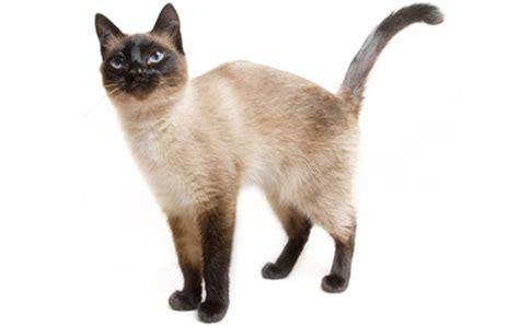Top 14 Most Playful Cat Breeds