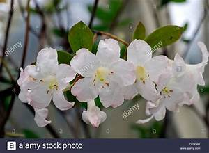 Blumen Winterhart Mehrjährig : rhododendron gossamer wei e blumen bl ten loranthiflorum x laetum untergattung hybriden ~ Whattoseeinmadrid.com Haus und Dekorationen
