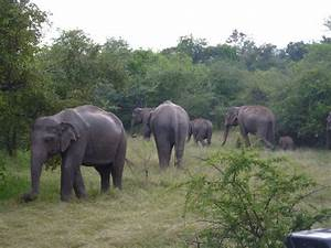 Asian Elephant   animals our neighbours