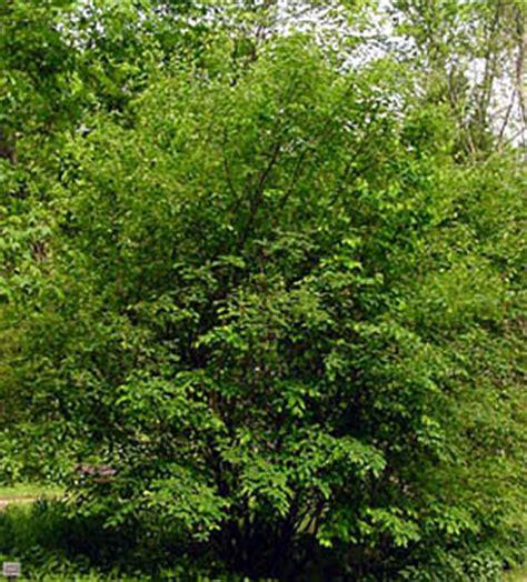 apple serviceberry bernheim arboretum  research forest