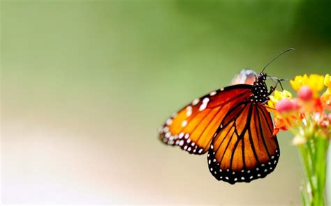Beautiful Animated Butterfly Wallpapers - animated butterfly wallpaper wallpaper