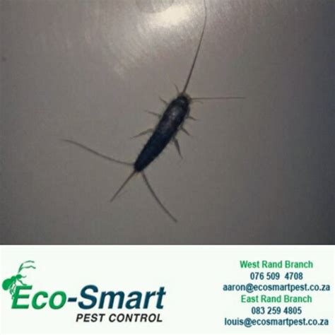 How To Get Rid Of Fishmoths In Cupboards by How To Get Rid Of Fish Moths Naturally Eco Smart Pest