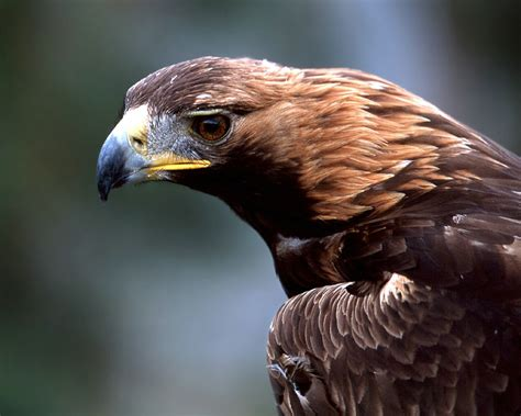Wallpapers Golden Eagles