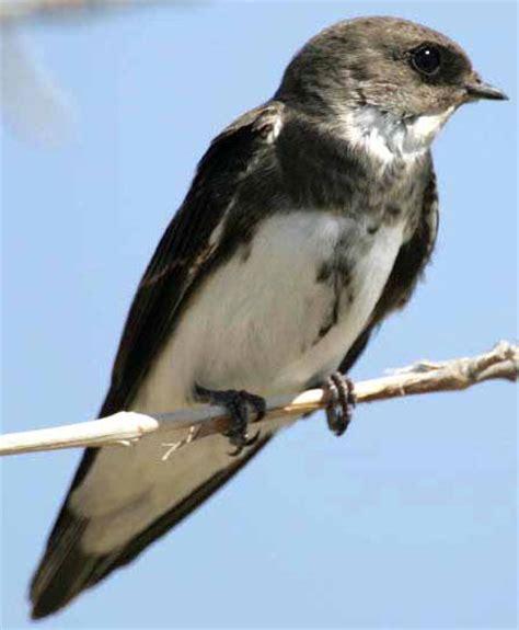 bird species bank swallow