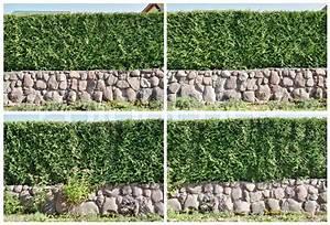 Thuja Smaragd Wachstum : vier fragmente einer l ndlichen zaun hecke aus immergr nen ~ Michelbontemps.com Haus und Dekorationen