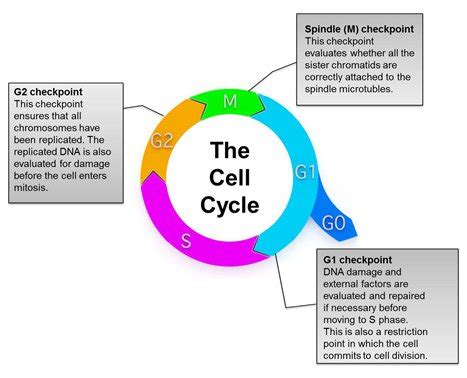 Eukaryotic Cell Cycle  Biological & Experimental Overview