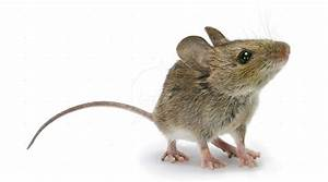 Comment Attraper Une Souris : exterminateur souris terrebonne mascouche laval ~ Dailycaller-alerts.com Idées de Décoration