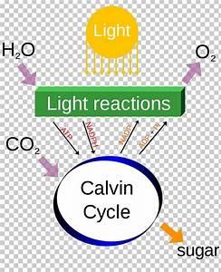 34 Photosynthesis And Cellular Respiration Diagram