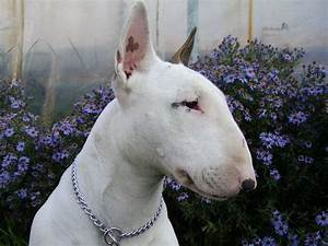 Bull Terrier and flowers photo and wallpaper. Beautiful ...
