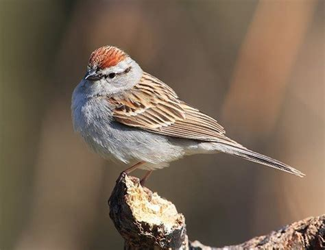 brewer s sparrow life expectancy