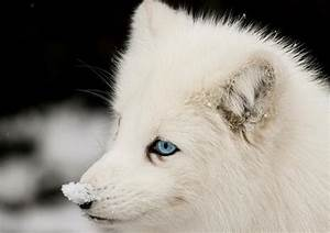 White Wolf With Blue Eyes In Snow