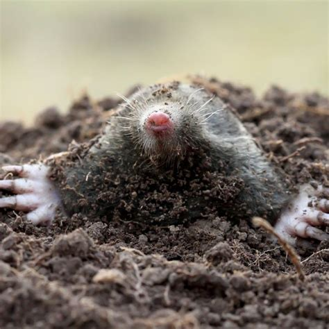 How To Get Rid Of Moles  Planet Natural