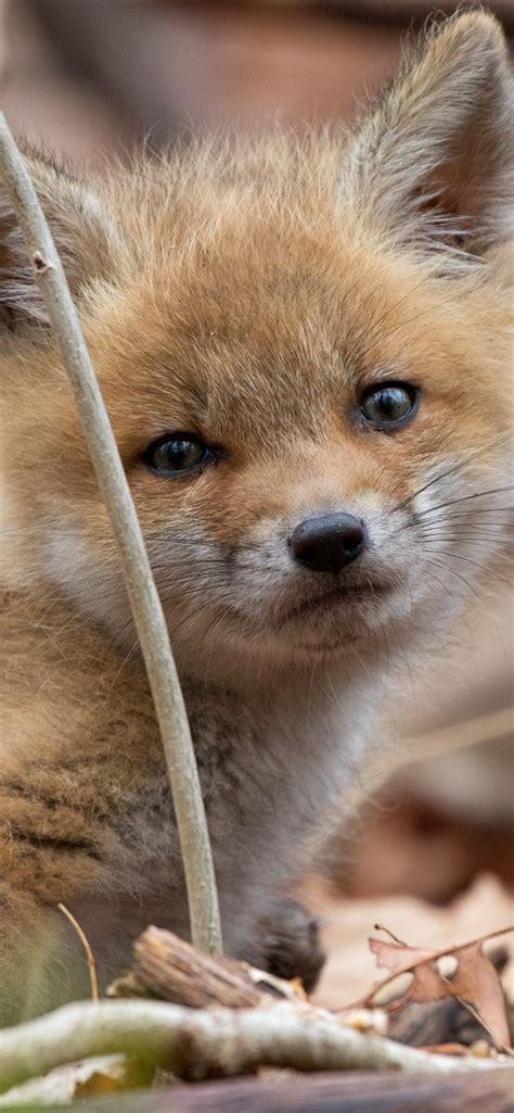 wallpaper cute  fox furry   uhd