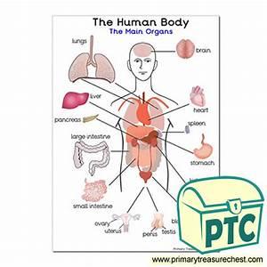 U0026 39 The Main Organs Of The Human Body U0026 39  A4 Poster