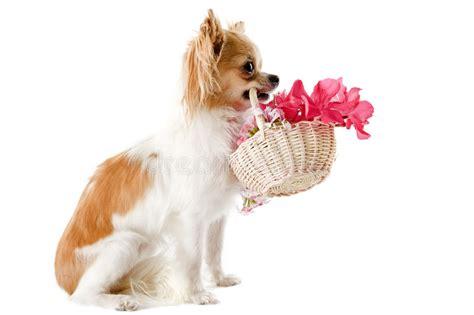afbeelding bloemen met dier chihuahua en bloemen stock foto afbeelding bestaande uit