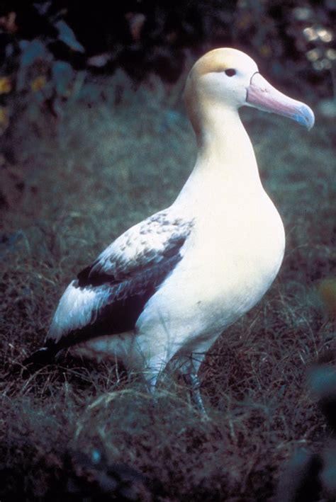 albatros wikcionario