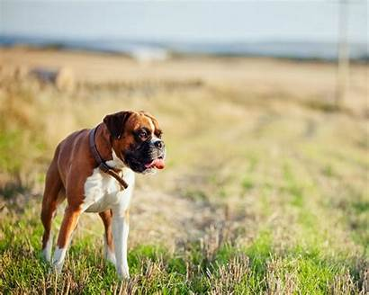 Boxer Dog Puppy Dogs Walking Alone Master