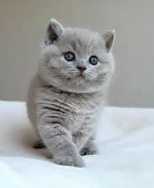 shorthair cat for 25 best ideas about shorthair on