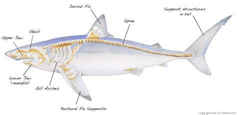 Great White Shark Diagram by Shark Skeleton Anatomy