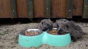 Fressen Igel Mäuse : junge igel beim fressen youtube ~ Orissabook.com Haus und Dekorationen