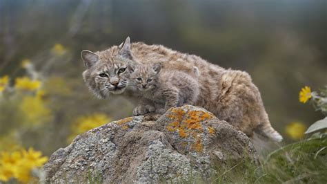 Animals, Feline, Nature, Baby Animals, Lynx Wallpapers Hd