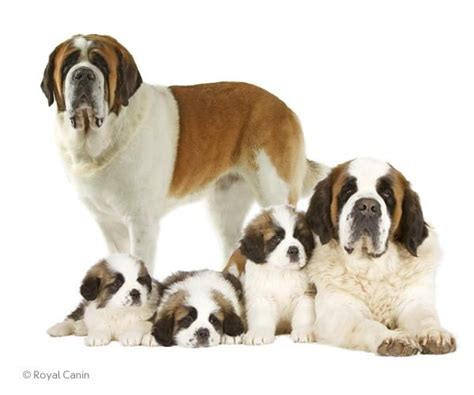 saint bernard dogs short haired and long haired most