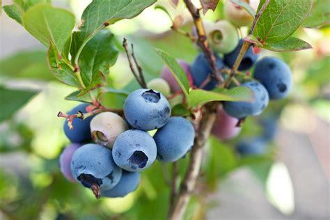 Heidelbeere Im Garten Pflanzen by Heidelbeeren Blaubeeren Herkunft Anbau Verwendung