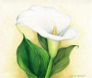 "Calla Lily by Heather A. Mitchell Colored Pencil ~ 9"" x 12 ..."