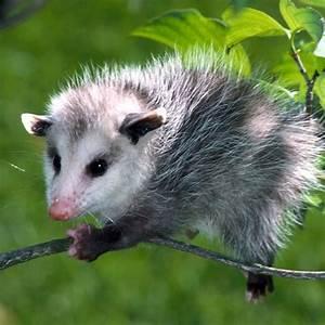 13 best images about Possum on Pinterest | Desktop ...