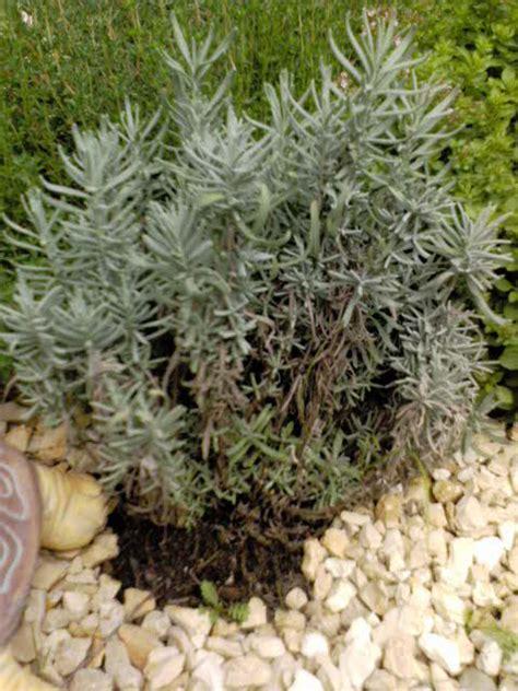 Lavendel Viel Wasser by Frage Zu Lavendel Mein Sch 246 Ner Garten Forum